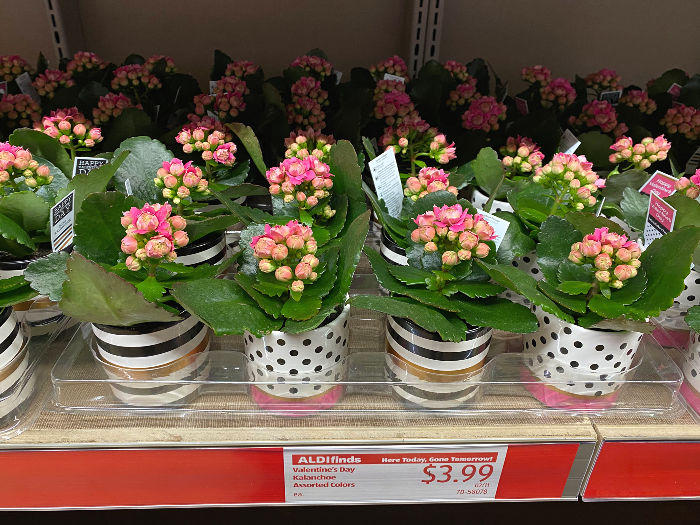 kalanchoe plants on the shelf at ALDI