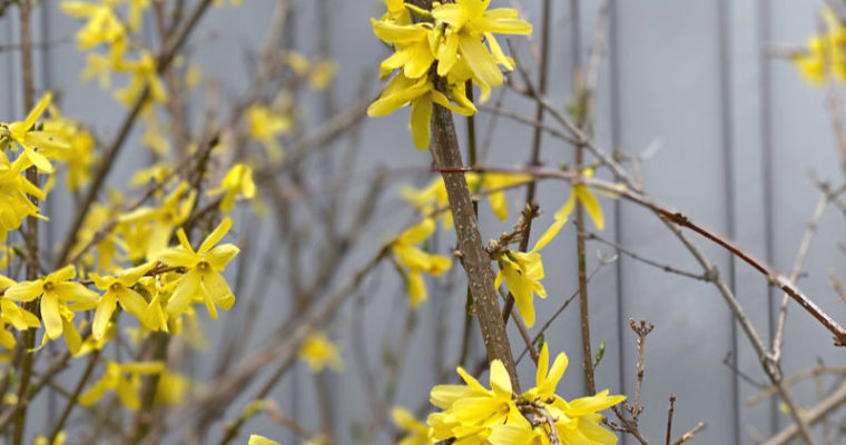 ALDI Forsythia brighten up spring, and more perennial faves