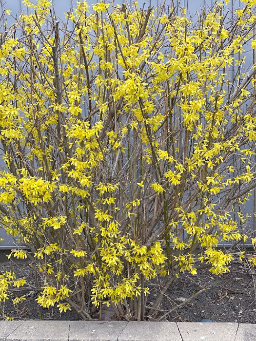blooming forsythia from ALDI