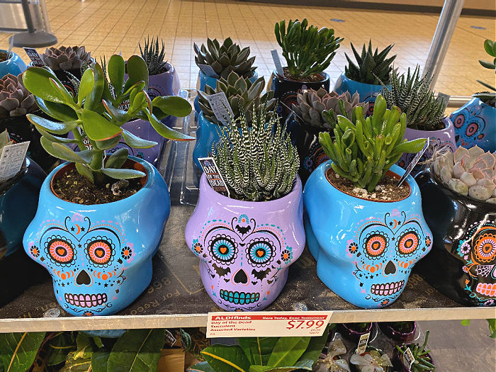 day of the dead succulents at aldi