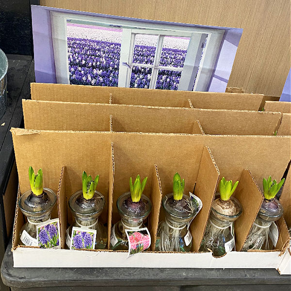 hyacinth bulbs at ALDI
