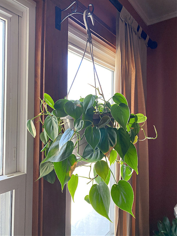 ALDI hanging plant in this week's Finds