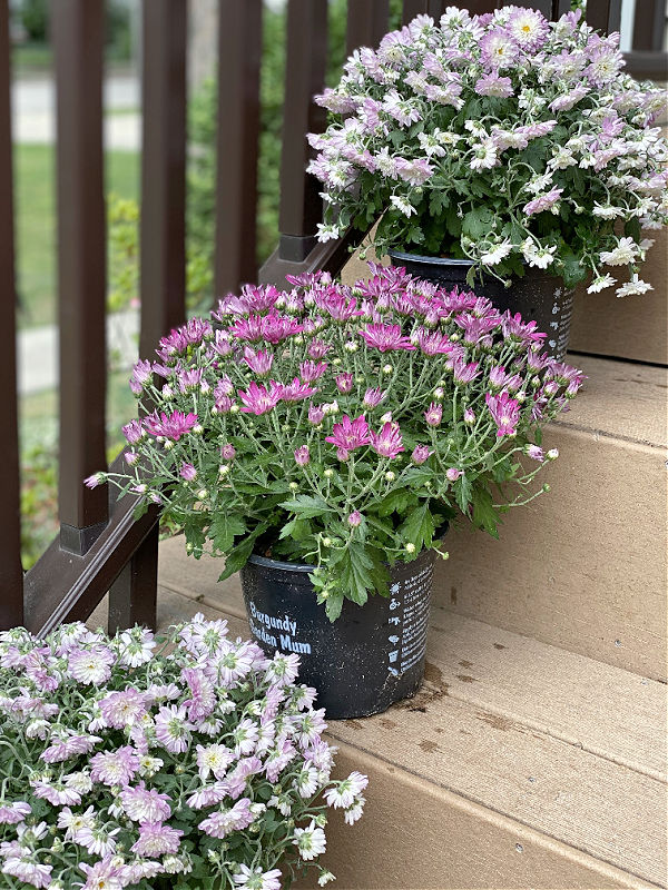 pink and lavender garden mums on my steps